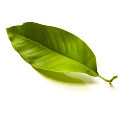 Champaka leaf tropical isolated on white