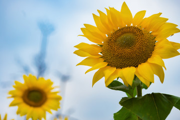 low angle view of sunflowers horizontal composition