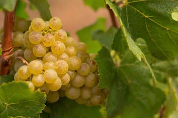white wine berry in wine field