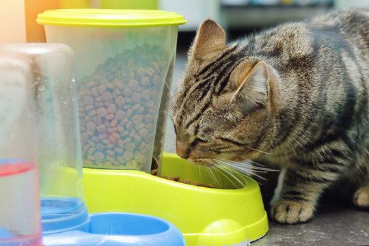 chat tigré tabby mangeant croquettes dans gamelle distributeur de nourriture