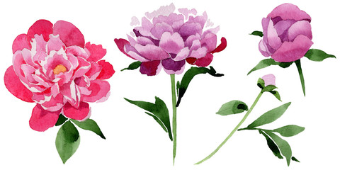 Wildflower pink peony flower in a watercolor style isolated. Full name of the plant: peony. Aquarelle wild flower for background, texture, wrapper pattern, frame or border.
