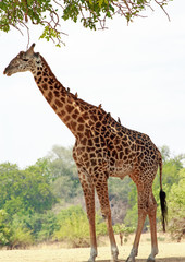 Portrait of a large Thornicroft Giraffe with oxpeckers perched on it's back against a natural bush and tree background in South Luangwa National Park, Zambia, Southern Africa