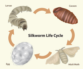 Silkworm Life Cycle