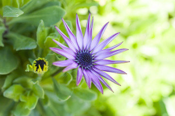 Purple African Daisy on green background