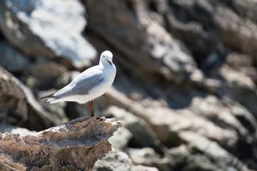 Möwe im Sonnenbad auf Felsen am Strand in der linken Bildhälfte schaut nach rechts