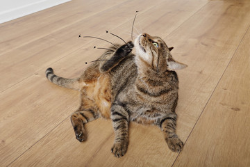 chat tigré tabby grattant ses puces dans intérieur maison