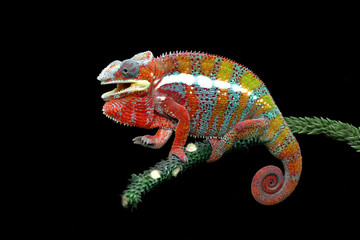 Chameleon panther with black backround, beautiful of chameleon