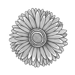 Gerbera flower illustration