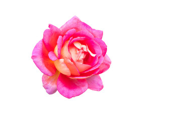 a pink rose isolated on the white background