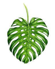 Big realistic leaf of monstera. Tropical plant. Hand painted watercolor illustration isolated on white background. Botanical art. Design element for fabrics, invitations, clothes and other.