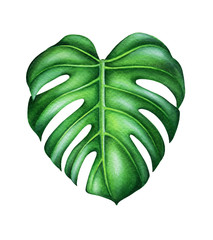 Green leaf of monstera deliciosa. Tropical plant. Hand painted watercolor illustration isolated on white. Realistic botanical art. Design element for fabrics, invitations, clothes and other.