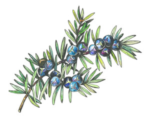 Graphic of Juniper plant (Juniperus communis) with berries and leaves. Black and white outline illustration with watercolor hand drawn painting. Isolated on white background.