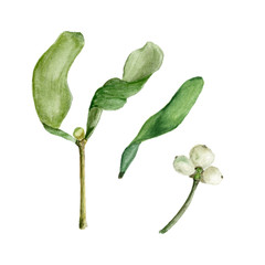 Mistletoe is hand-painted. Isolated on a white background. Watercolor illustration