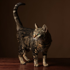 Portrait of a cute tabby cat with her tail up standing on a hardwood floor.