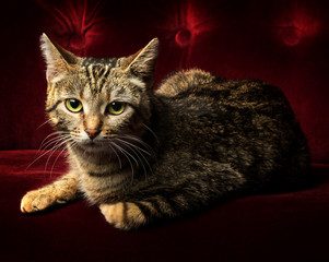 Portrait of a cute tabby cat with big green eyes lying on a red velvet couch.