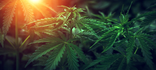 marijuana  background at sunset. bush cannabis.