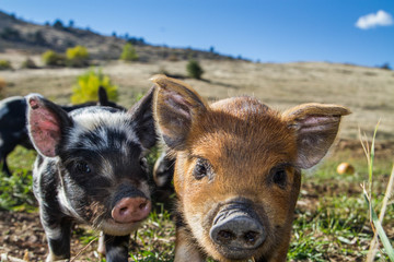 Cute mini pigs enjoying a beautiful afternoon on the farm