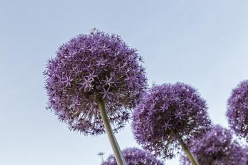 The Garlic Flower