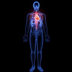 3d illustration of human body organ(heart anatomy)