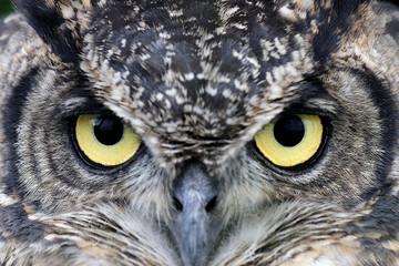 Uhu, Eagle Owl, Bubo bubo. Portrait. Nahaufnahme..