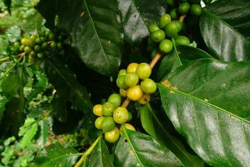 Green coffee beans on stem