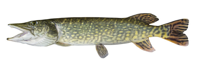 Close-up Pike fish trophy isolated on white background