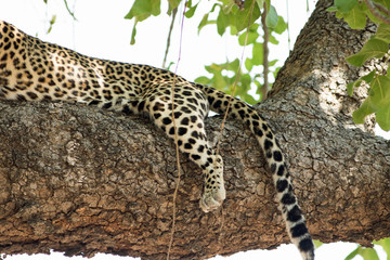 Leopard up a tree with leg and tail hanging over the branch in south luangwa, zambia