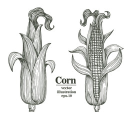 Vector corn on the cob with leaves vintage engraved illustration. Botanical corn. Hand drawn illustration