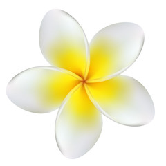 Plumeria. Tropical flower. Frangipani. Exotic plant. Yellow. Vector. Isolated.