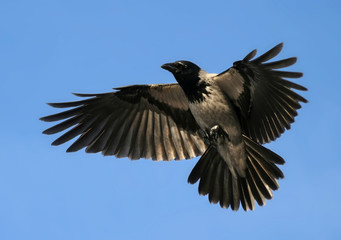Crow Hover Open Wings, Bird Flying Up
