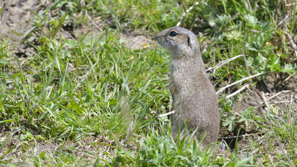 European Ground Squirrel or Souslik in Springtime