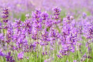 Garden Poster Lavender Lavande en fleurs gros plan.