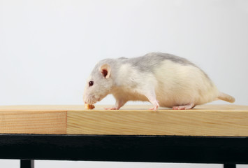 Cute White Rat On Wooden Table. White Rat. Cute Little Mouse on The Floor. Zoophobia, Pets, Rodents Concept. Rat Scare. Rat sitting on the wooden table and eating bread.