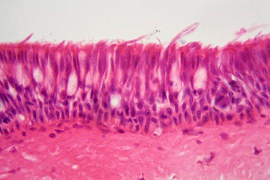 Ciliated epithelium under the microscope.