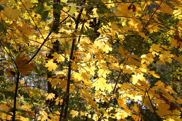 Autumn, golden maple leaves