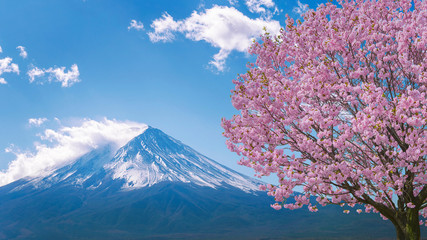 Wall Mural - Fuji mountain and cherry blossoms in spring, Japan.