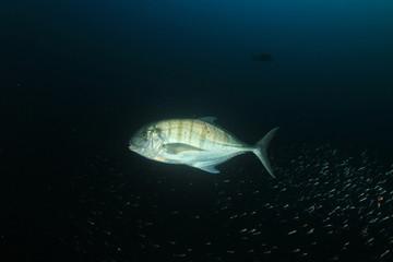 Fish school coral reef underwater