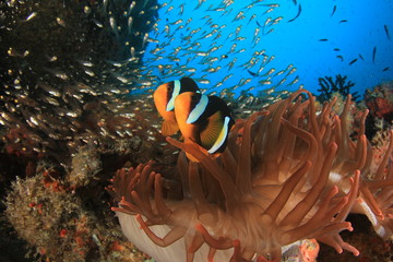 Clark's Anemonefish (Clownfish) fish and fluorescent red sea anemone