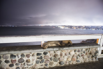 Sea lion sleeping on retaining wall against sea during night