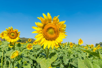 Yellow Sunflower in field