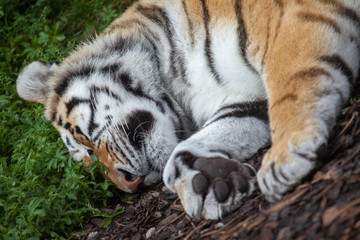 Tiger Sleeping In Irish Zoo