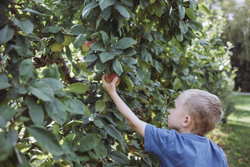 Side view of boy picking apple at field