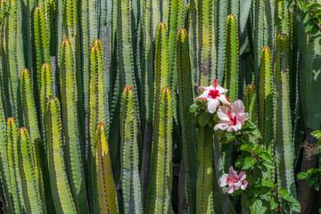 Stachliger Säulenkakteen mit Kaktusblüten als Busch formiert
