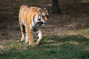 tigre qui marche