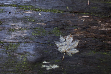 Overhead view of white maple leaf on weathered wood