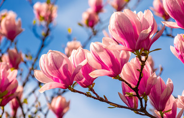 magnolia flowers branch on a blue sky background