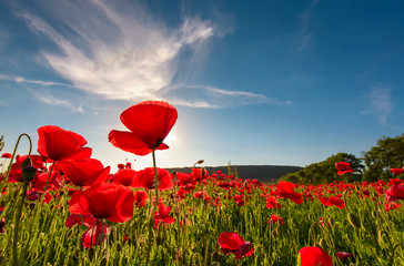 Photo sur Aluminium Poppy field of red poppy flower with sunburst shot from below. beautiful nature background against the blue sky