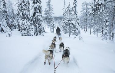 working husky dogs in arctic Finalnd Fototapete