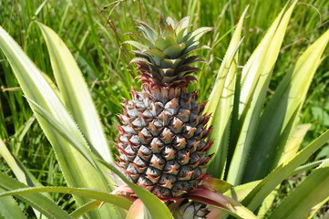 Closeup Pineapple Fruit