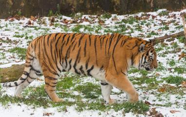 Big beautiful adult tiger in a zoo